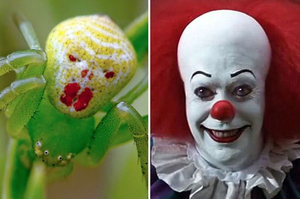 Meet the crab spider that looks like the clown