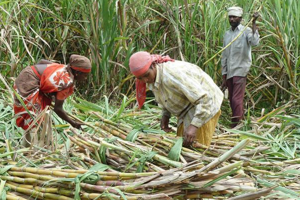 sugarcane arrears in 2019 20 reach over rs 22000 crore food ministry 441986