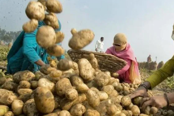 possible potato price hike in navratri can leave bitter aftertaste 454343