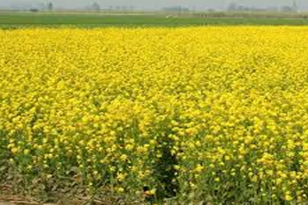 mustard yields this year estimated to produce 120 million tonnes 469210