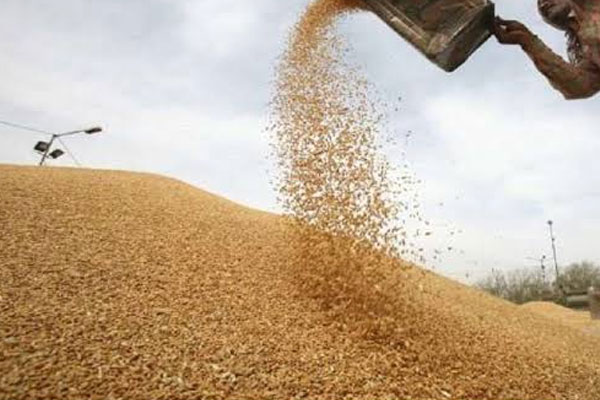 central government bought 30 percent more wheat than last year 478458