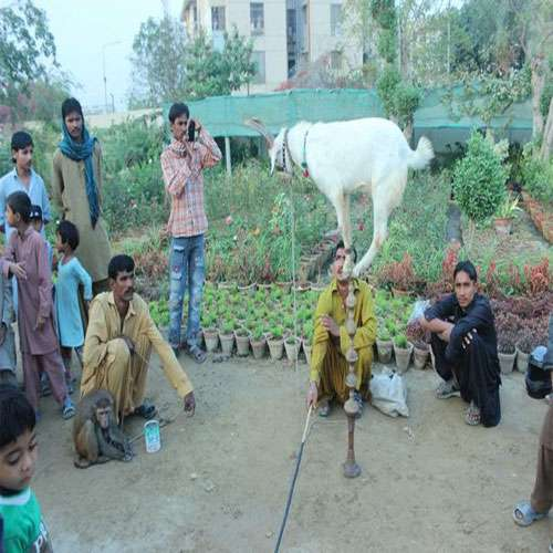 Amazing goat stunt on pole with incredible balance, Must Watch - OMG News in Hindi