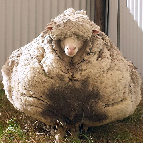 ajabgajab wool world record kg fleece shorn off overgrown sheep in canberra - OMG News in Hindi