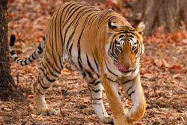 रणथंभौर राष्ट्रीय उद्यान से निकला बाघ गांव में घुसा और...