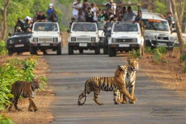बाघों की अठखेलियां  देख सकेंगे पर्यटक, 3 माह बाद खुला रणथंभौर नेशनल पार्क