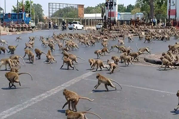 Coronavirus : Hundreds of monkeys clash in middle of city in Thailand, see video - Wonders News in Hindi