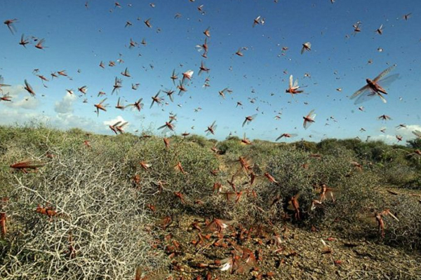 As an army of locusts enter from Pak, Minister Kailash Choudhary deploys drones to combat menace - Jaipur News in Hindi