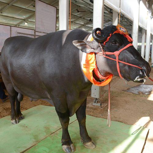 Yuvraj made of ninety million attraction - Jaipur News in Hindi