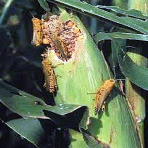 Grass Hopper has attacked crops - Jodhpur News in Hindi