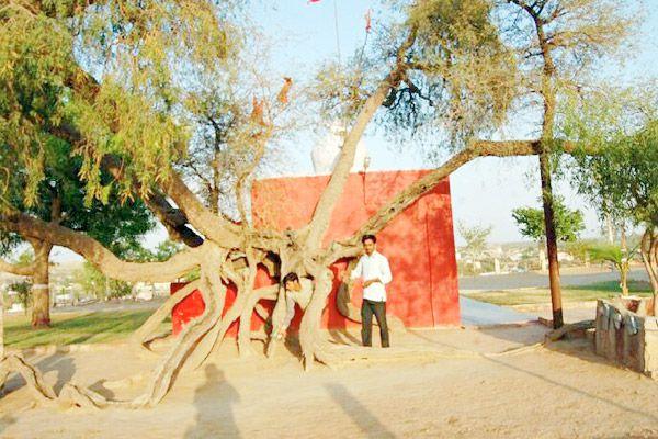 jodhpur news :  treatment of whooping cough from Prosopis cineraria - Jodhpur News in Hindi