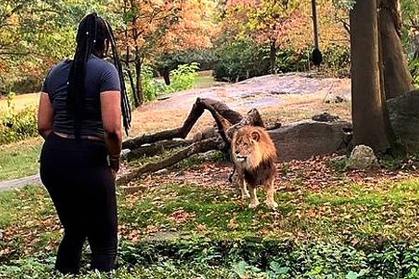 Woman ascends in exhibition in Bronx Zoo, appears taunting lion - Weird Stories in Hindi