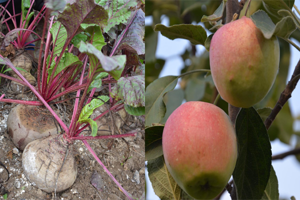 From one kg to heavy beetroot and hot apples ... Not surprisingly less than AcchruRam - Mandi News in Hindi