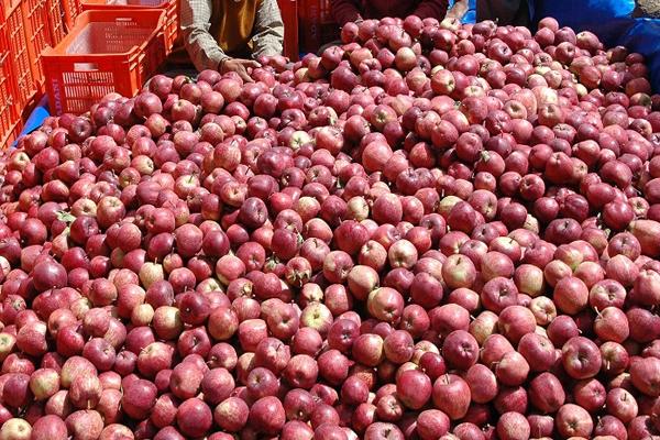 पारंपरिक खेती छोड़ी, सेब उत्पादन ने बदली तकदीर