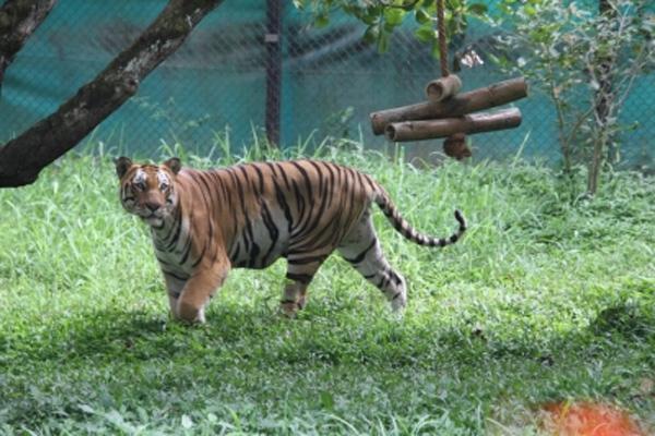 कानपुर के बाघ को गोरखपुर में मिला नया नया घर