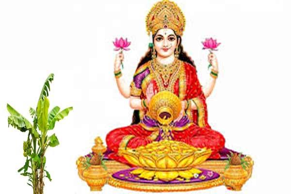 मां लक्ष्मी प्रसन्न करने के लिए केले के पेड़ में चढ़ाए जल, धन और व्यापार में होगी बरकत