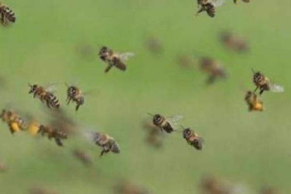 मधुमक्खियों के हमले में 50 छात्राएं घायल