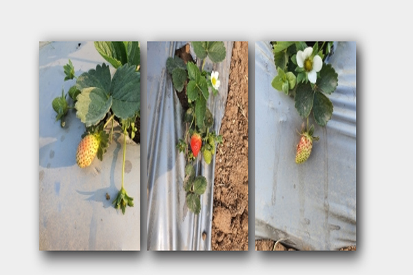 Strawberries will now write a new story of progress in the land of valor in Jhansi - Lucknow News in Hindi