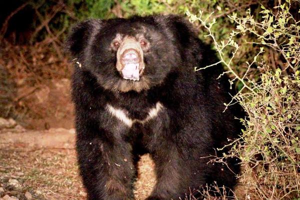 भालूओं को भा रहा है होटल का खाना ! यहां पढ़ें और देखें तस्वीरें