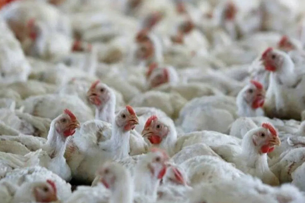 MP: Bird flu spread to 13 districts; Poultry market in Agar closed for 7 days - Bhopal News in Hindi