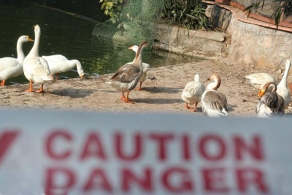 Panic over human death due to bird flu in Gurugram village - Gurugram News in Hindi