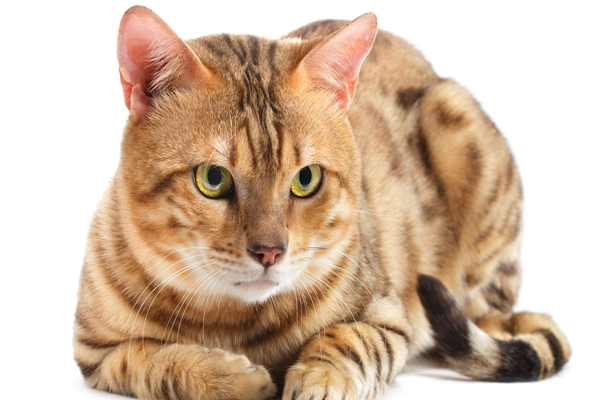 Keep such a cat at home to ward off misfortune - Jyotish Nidan in Hindi