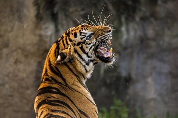 बाघों की आबादी दोगुनी करने के लिए पीलीभीत रिजर्व को मिला ग्लोबल अवॉर्ड