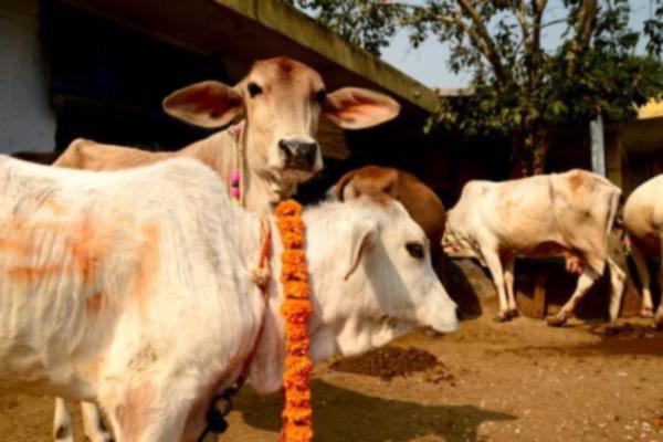 Benefits of Cow Urine - Jyotish Nidan in Hindi