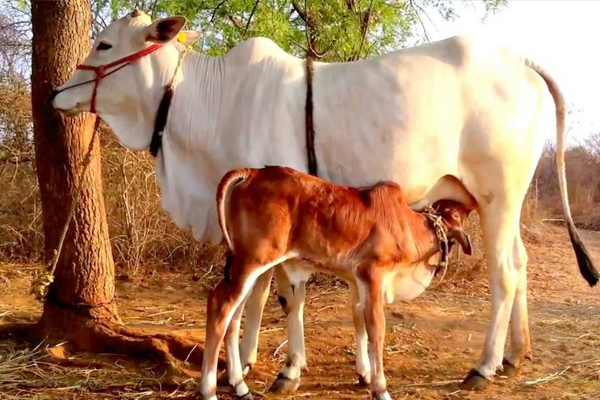 Cow can solve all problems of your life, know how - Puja Path in Hindi