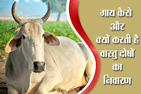 Cow remedies to get rid of Vastu Doshas - Vastu Tips in Hindi
