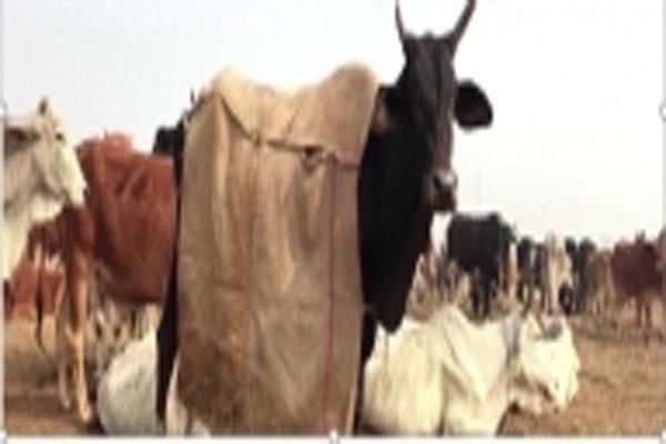 यूपी में जेल के कैदी बना रहे गायों के लिए कोट