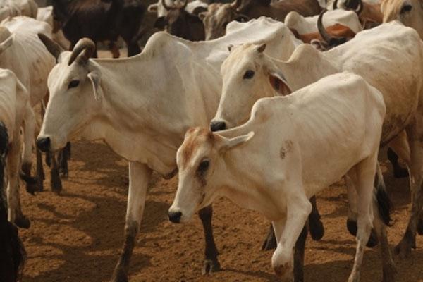 Kanha Gaushala will become an example of self-reliance in Ramnagari Ayodhya - Lucknow News in Hindi