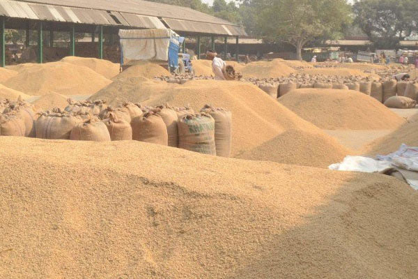 16578162 tonnes of paddy in Punjab - Rupnagar News in Hindi