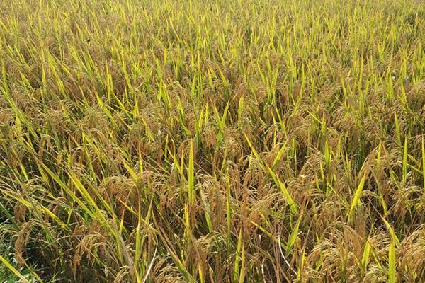कोहला कूहल से सालों बाद संभव हुई धान की खेती