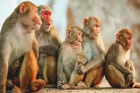 उत्तरप्रदेश के संभल में 15 बंदर मरे, लोगों का शक कोरोनावायरस पर