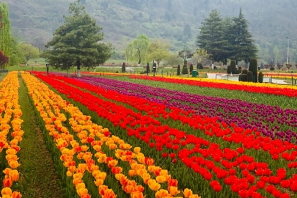 Tulip flowers add to the beauty of the beautiful Valley of Srinagar - Srinagar News in Hindi