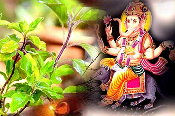 Ganesh Chaturthi 2019 : Why Tulsi Is Not Used In Ganpati Puja Know The Mythology - Jyotish Nidan in Hindi
