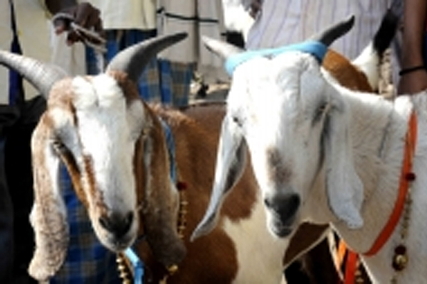 Goat arrested for not wearing mask in UP - Kanpur News in Hindi
