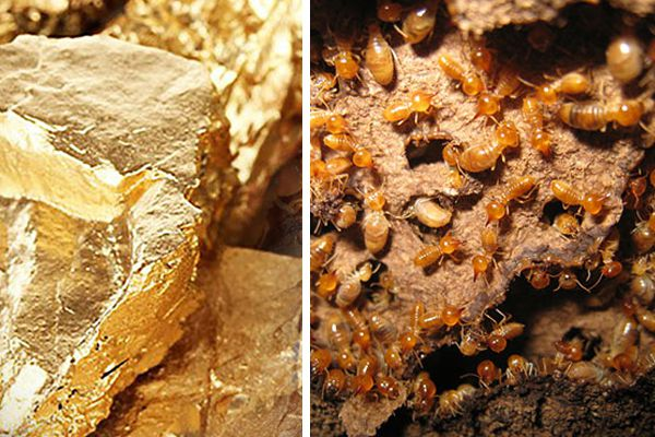 where there is termite, there may be gold: study - Weird Stories in Hindi