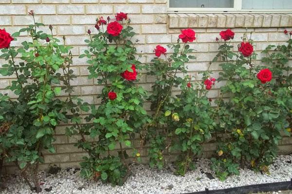 गुलाब के अलावा सभी कांटेदार पौधों को घर में लगाना क्यों माना जाता है अशुभ