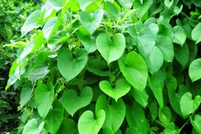 Giloy acts as a lifesaving herb in summer, keeps it away from many diseases - Health Tips in Hindi