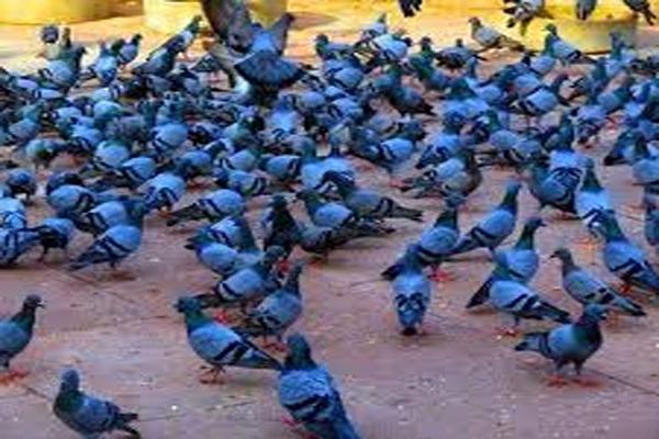 युवक ने पड़ोसी के 11 कबूतरों को मार डाला, आखिर क्यों, यहां पढ़ें