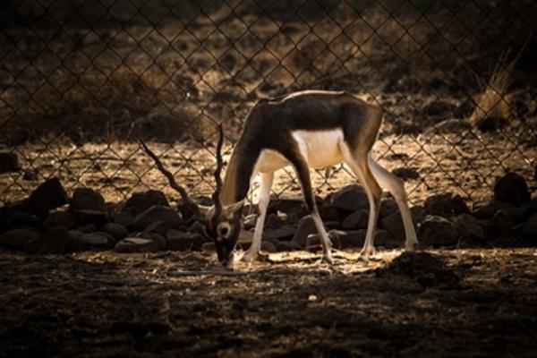 बरेली में काला हिरण मृत पाया गया, 3 के खिलाफ केस दर्ज