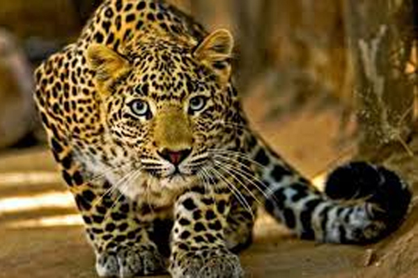 Leopard body found in Baghpat, UP - Baghpat News in Hindi