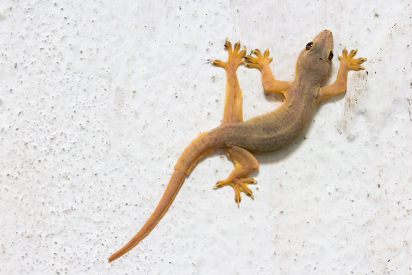 Information about future events can also be obtained from the behavior of lizards - Jyotish Nidan in Hindi