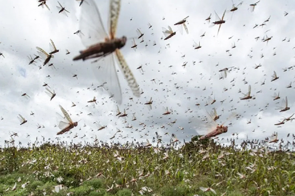 Farmers warned of possible locust attack in UP - Aligarh News in Hindi