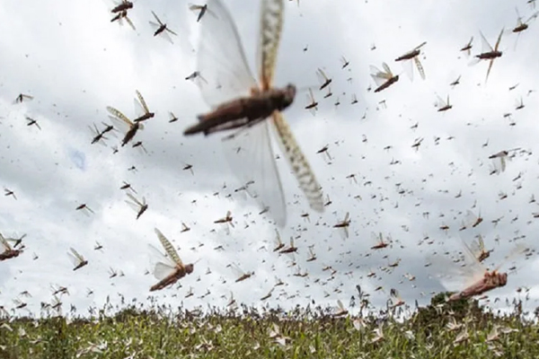 Farmers worry, locust should not be able to chop cotton, millet crop - India News in Hindi