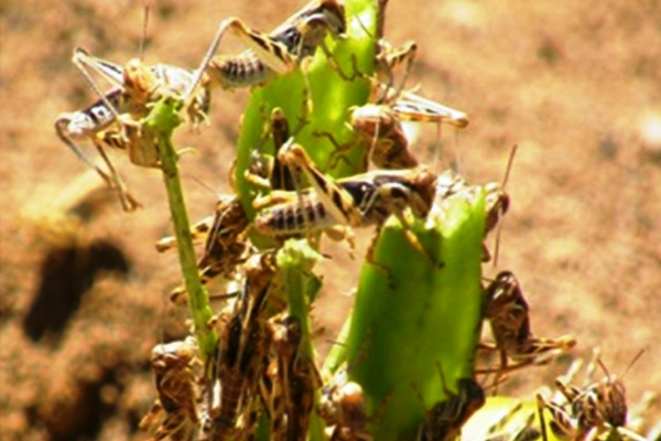 The current locust attack from Rajasthan in Punjab is expected, but the need to be vigilant - Punjab-Chandigarh News in Hindi