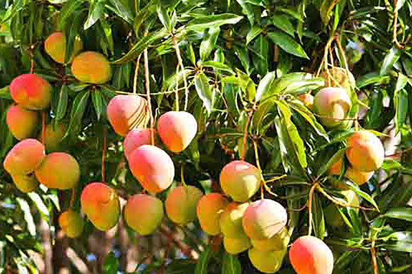 A mango tree with 121 varieties of fruits - Shahjahanpur News in Hindi