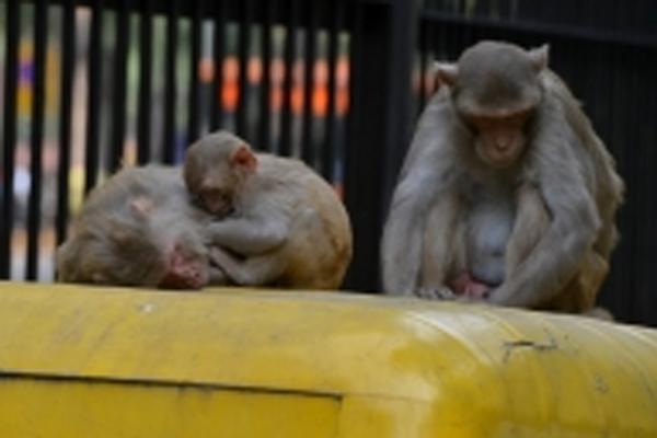 यूपी में 7 बंदरों की करंट लगने से मौत