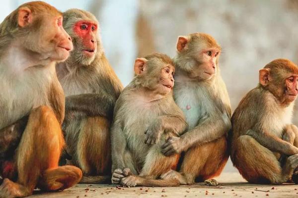 UP के संभल में निमोनिया से हुई थी बंदरों की मौत, पोस्टमार्टम से हुआ खुलासा